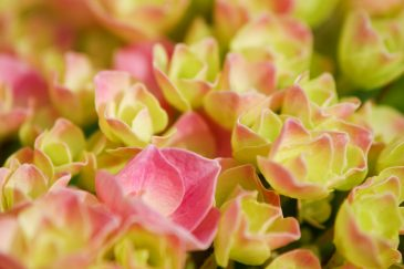 Green pink mini roses close-up