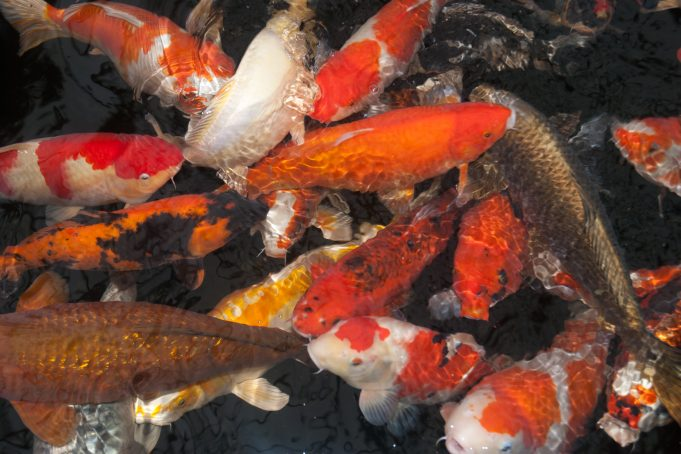Group of Koy Carp
