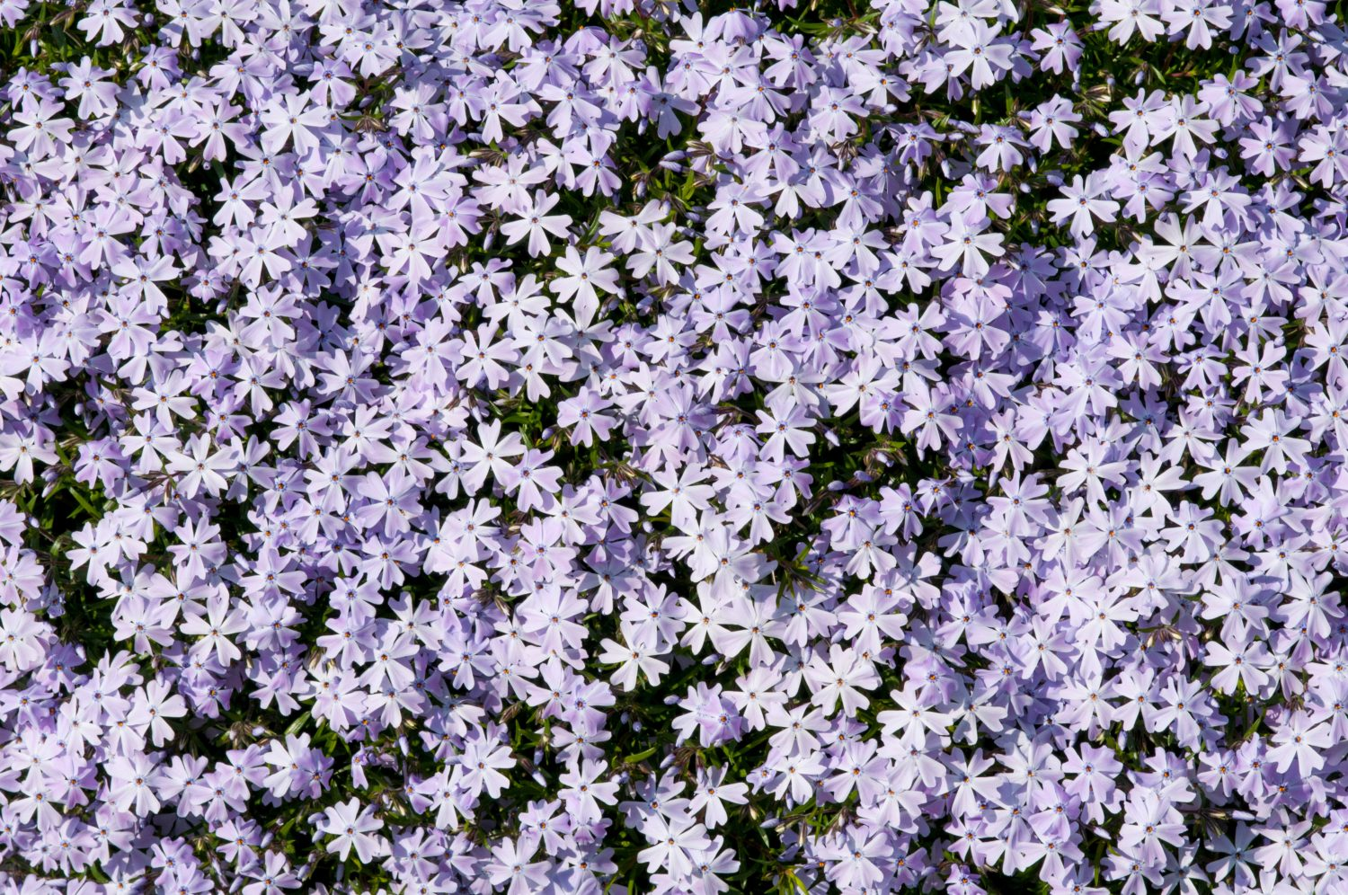Group of lila flowers background