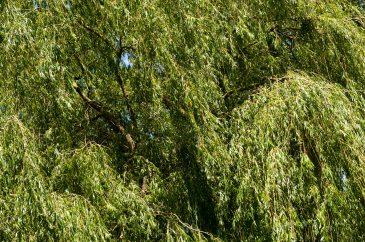 Hanging tree texture