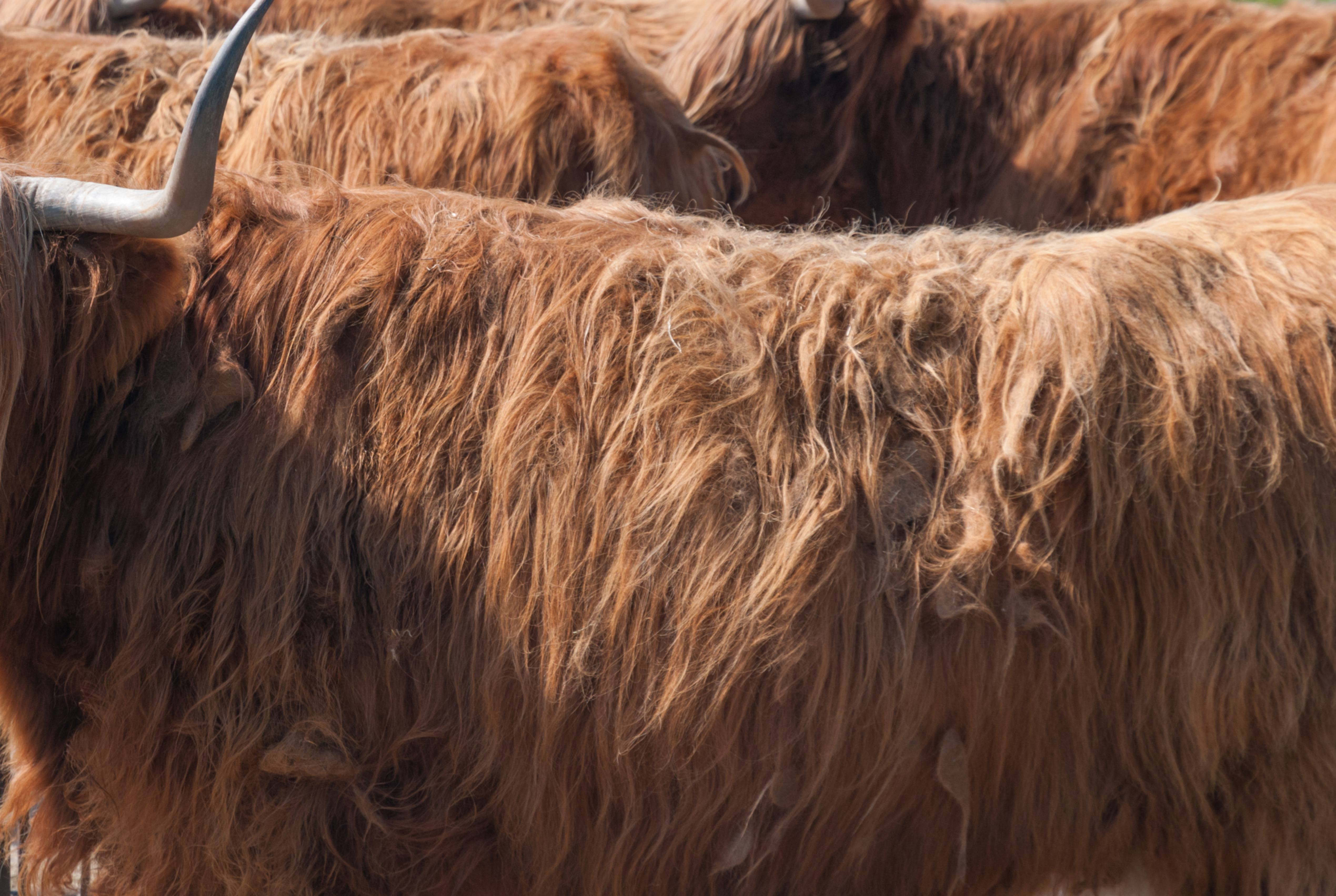 Highland Cattle Fur Texture