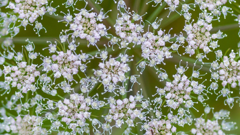 Hogweed flowers plant pattern photo