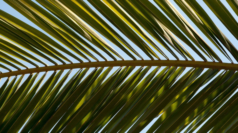 Horizontal Close-Up Pineapple Tree Leaf