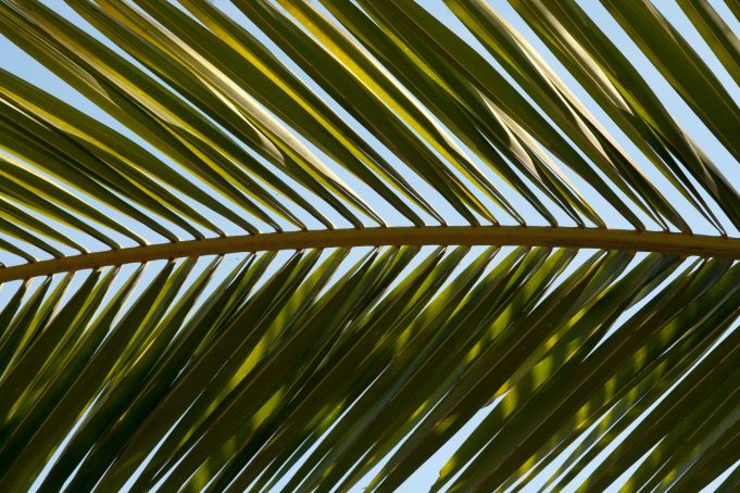 Horizontal Close-Up Pineapple Tree Leaf