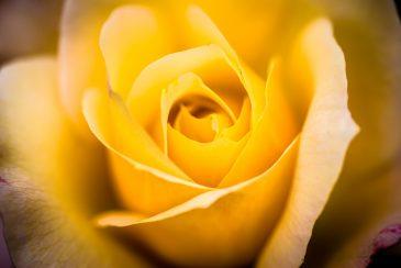Intense bright yellow rose