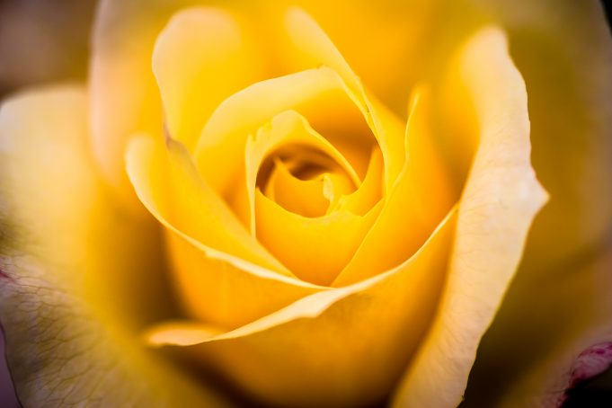 Intense bright yellow rose