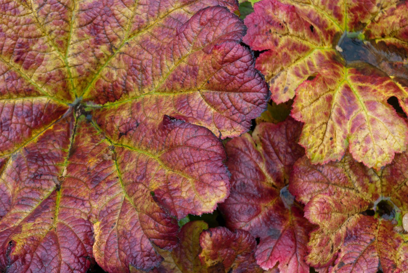 Large Autumn Plant Leaves