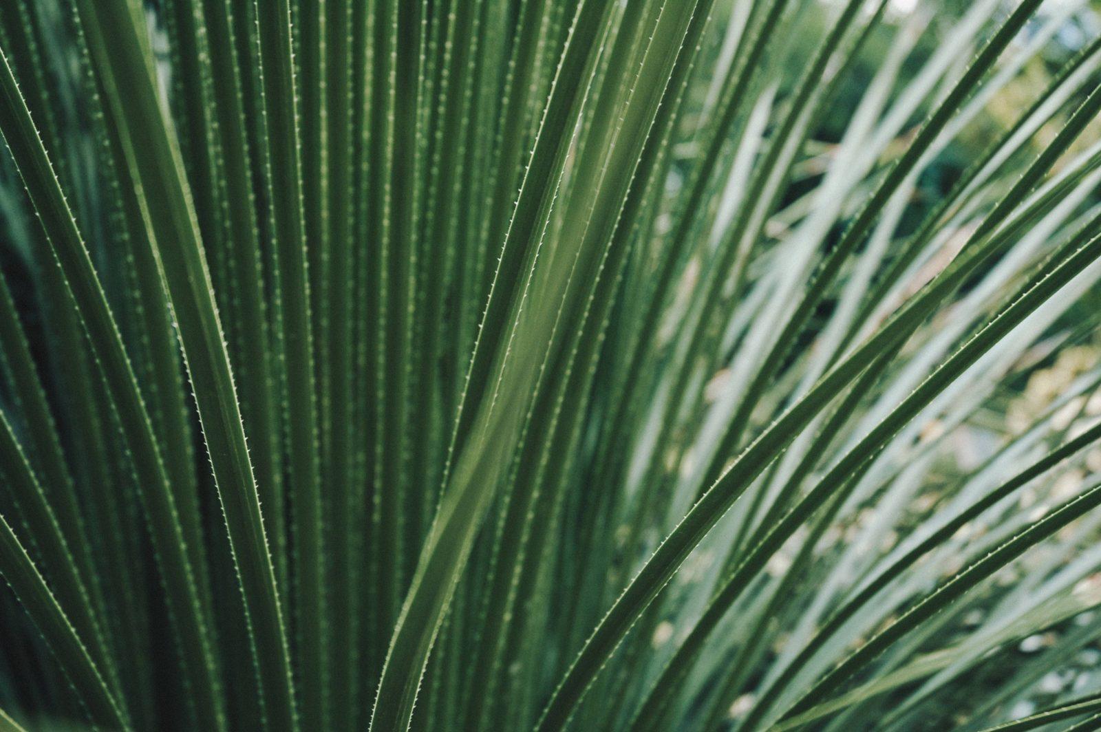 Large Cactus Leaves