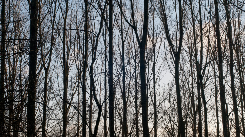 Large thin trees background