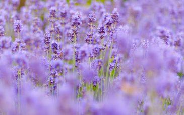 Lavender background bokeh high quality photo
