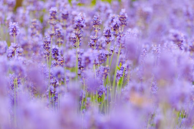 Lavender background bokeh high quality photo