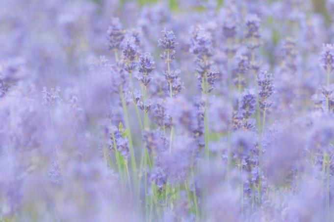 Lavender color soft focus background texture