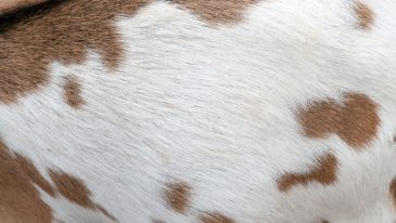 Light Mottled Goat Fur