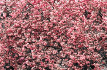 Magnolia tree full screen blossoms duotone