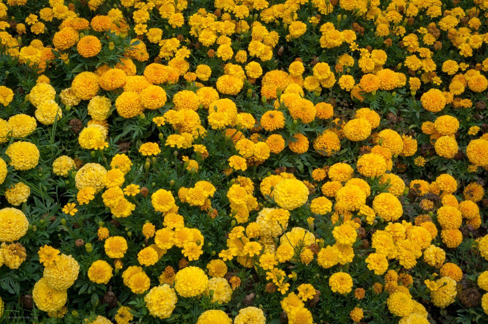 Marigold yellow flowers free photo