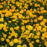 Marigold yellow flowers free photo