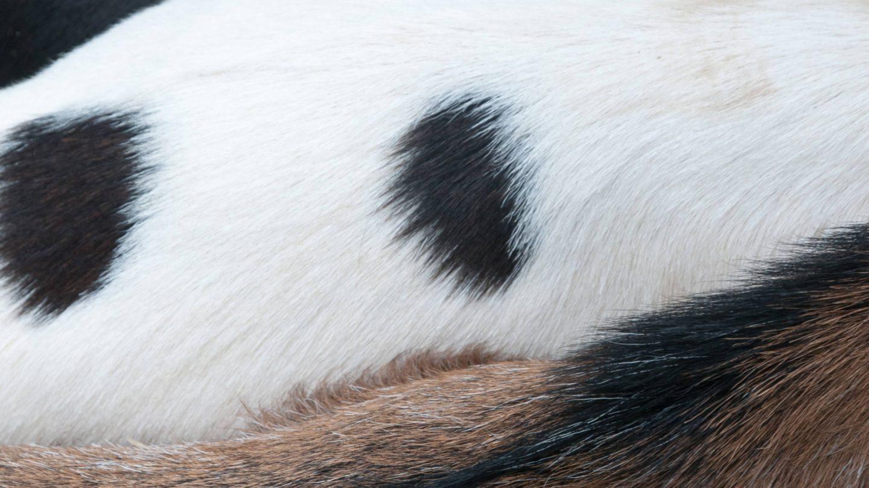 Mutlipe Pattern Goats Fur Side by Side