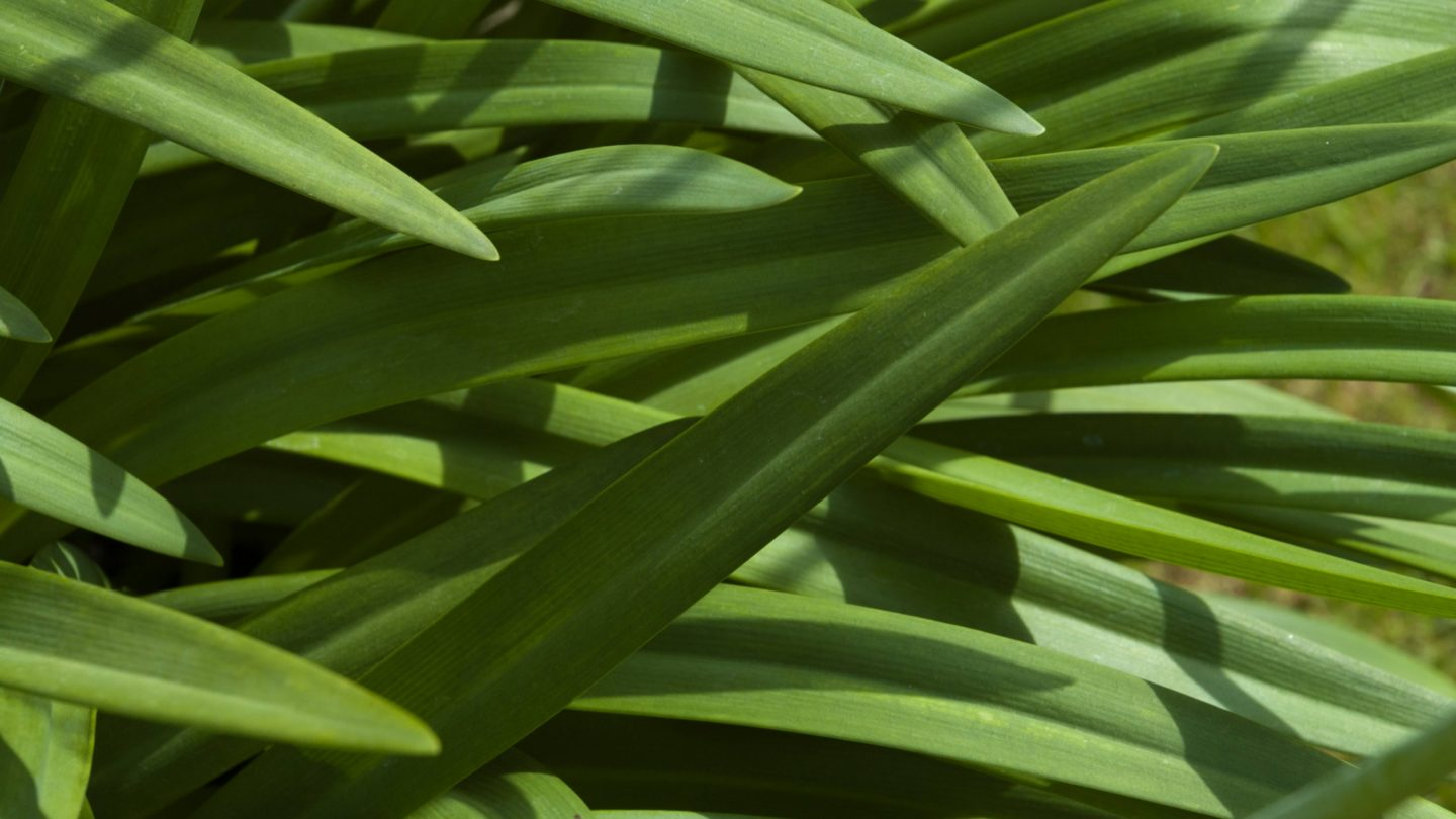 Overlapping Green Long Leaves