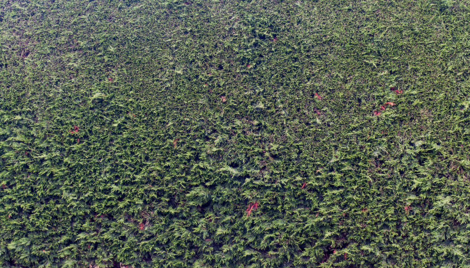 Big Conifer Hedge