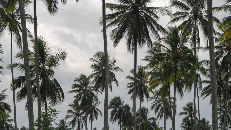 Black and White Palmtrees