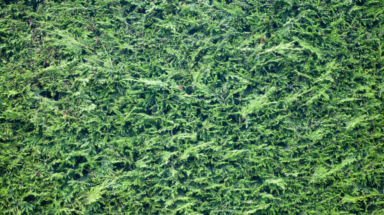 Coniferous Hedge