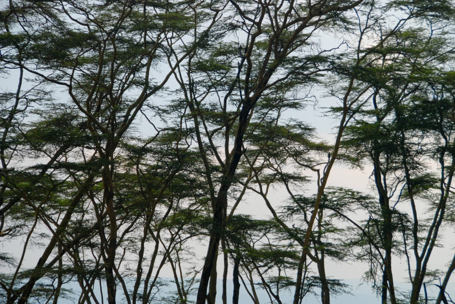 African Tree Line
