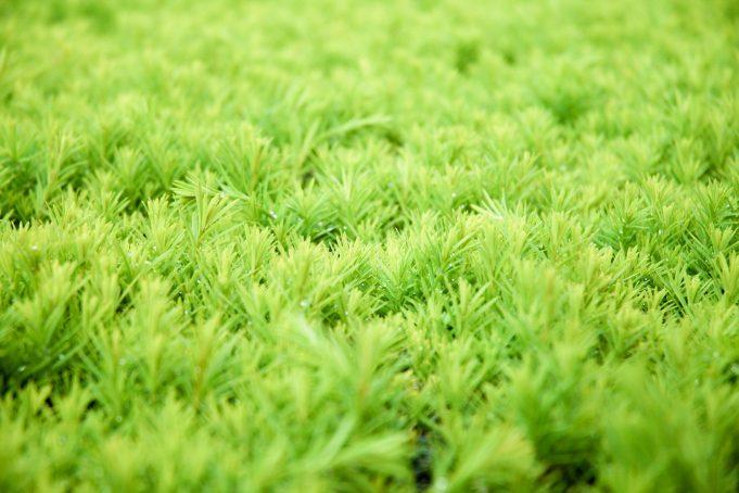 Blurry Green Conifer Hedge