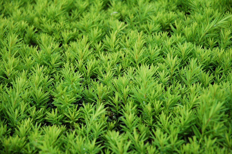 Conifer Hedge Texture