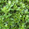 Green Bush background