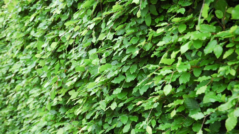 Large Natural Green Hedge