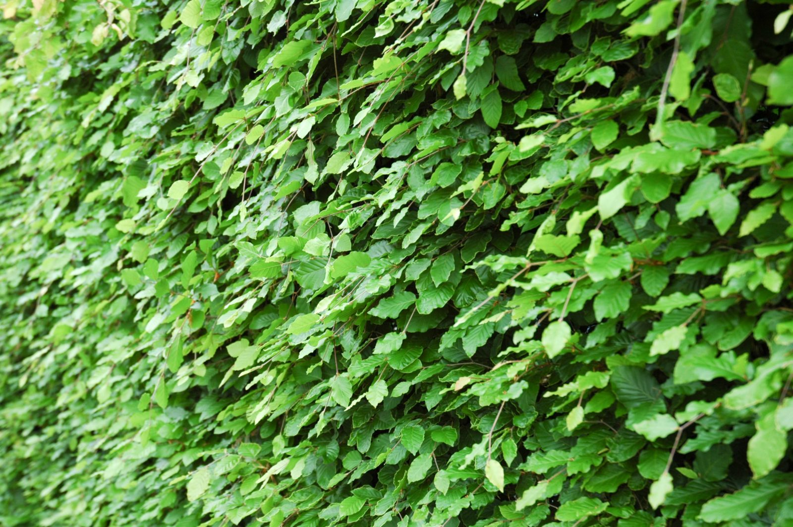 Large Natural Green Hedge