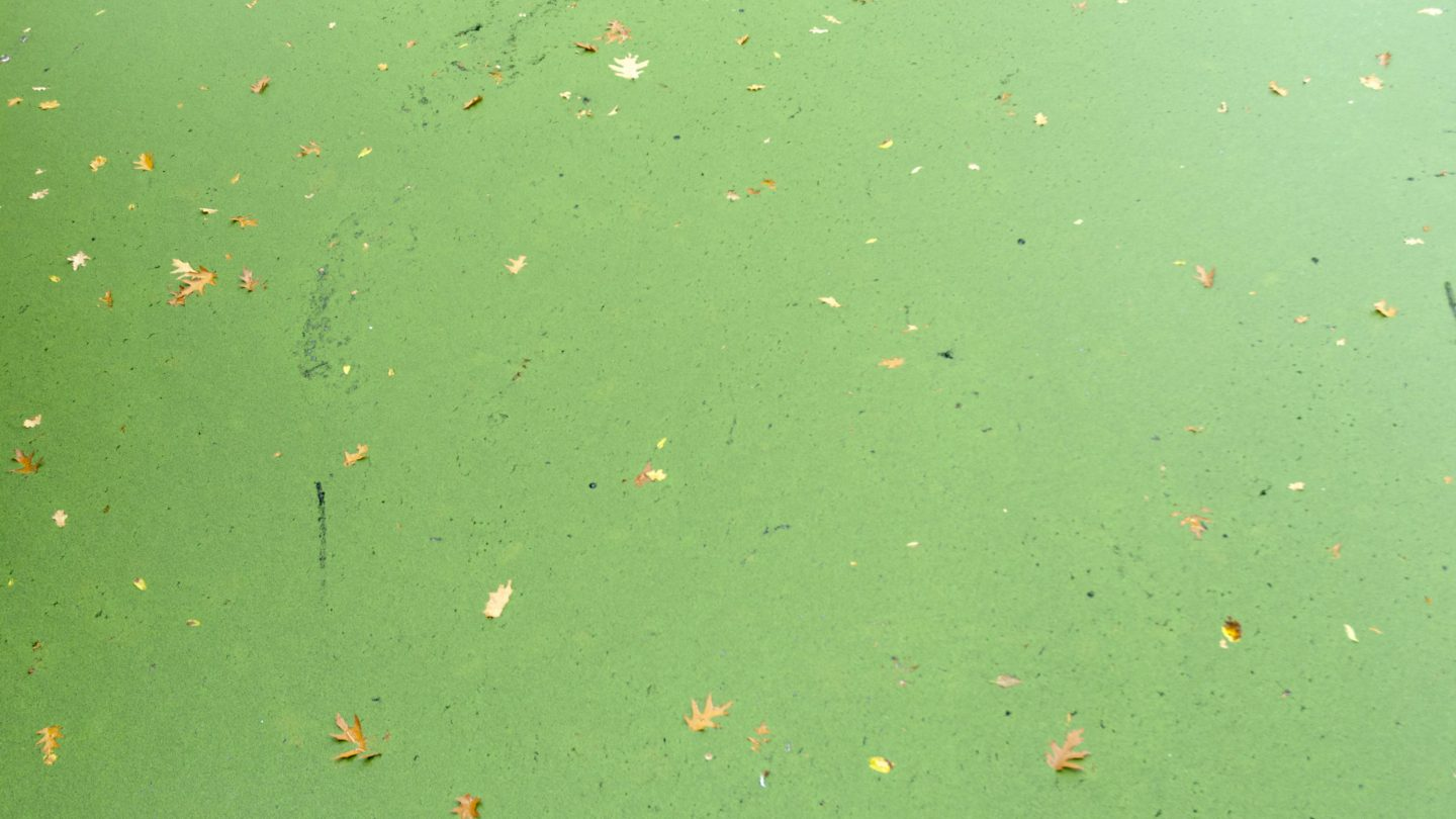 Green Algae Stained Water