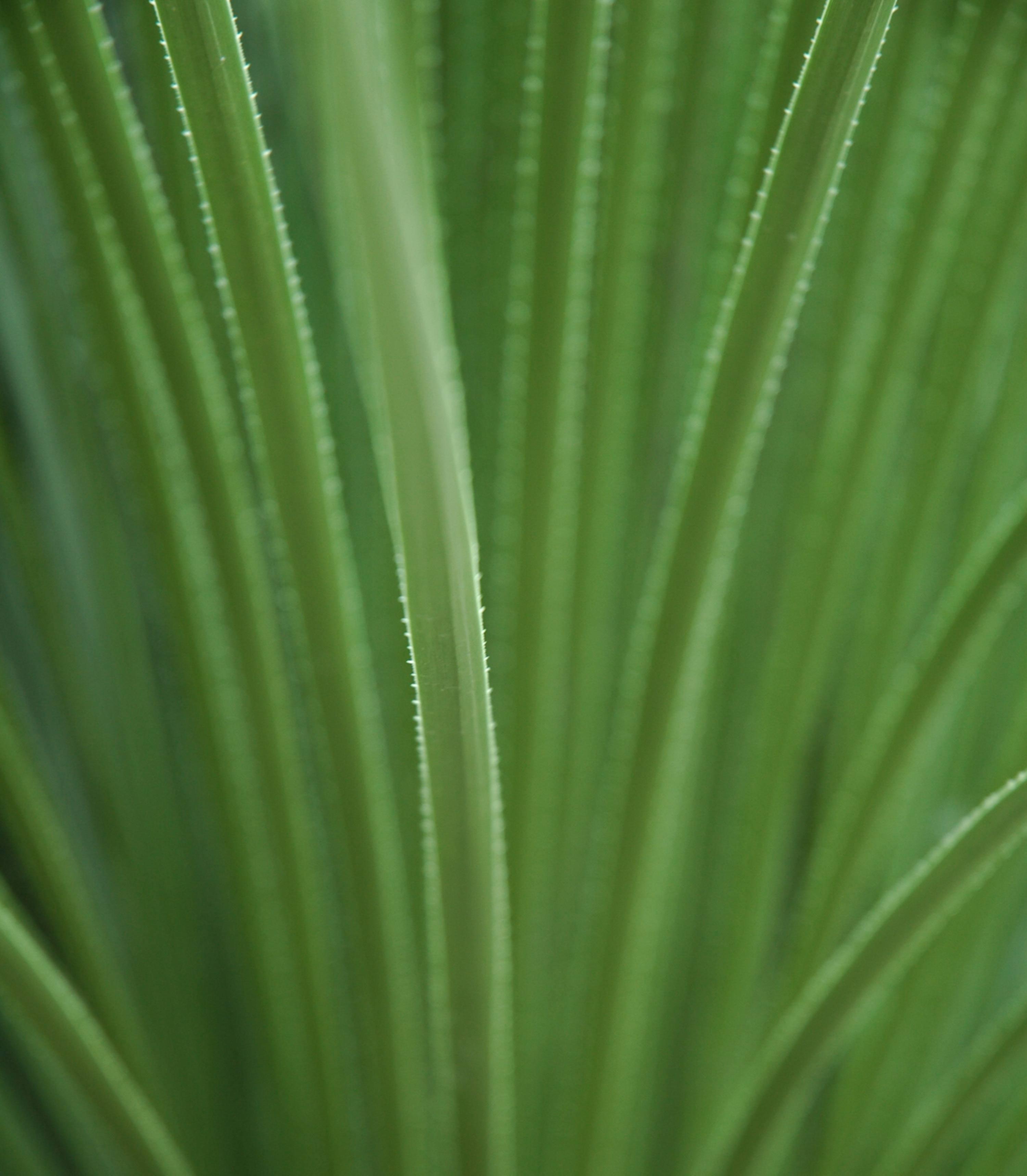 Narrow Long Leaves