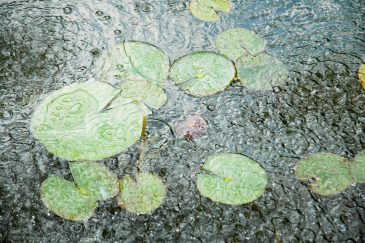 Water Lillies in The Fountain