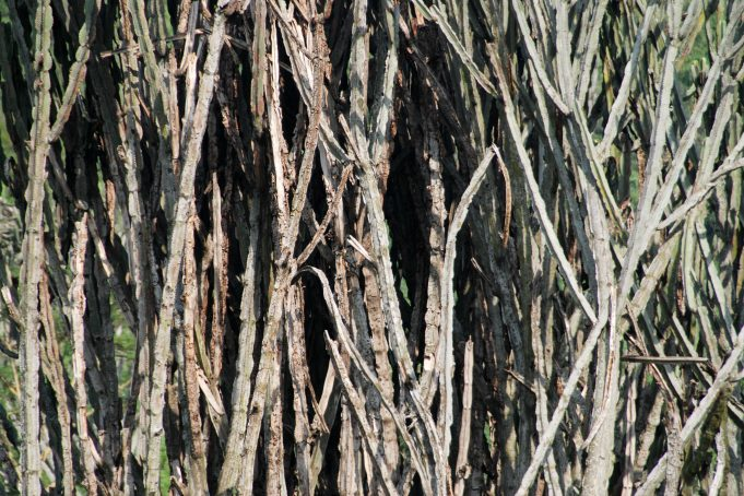 African Bush Branches