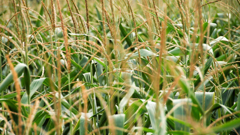 Wheat Field Close-up