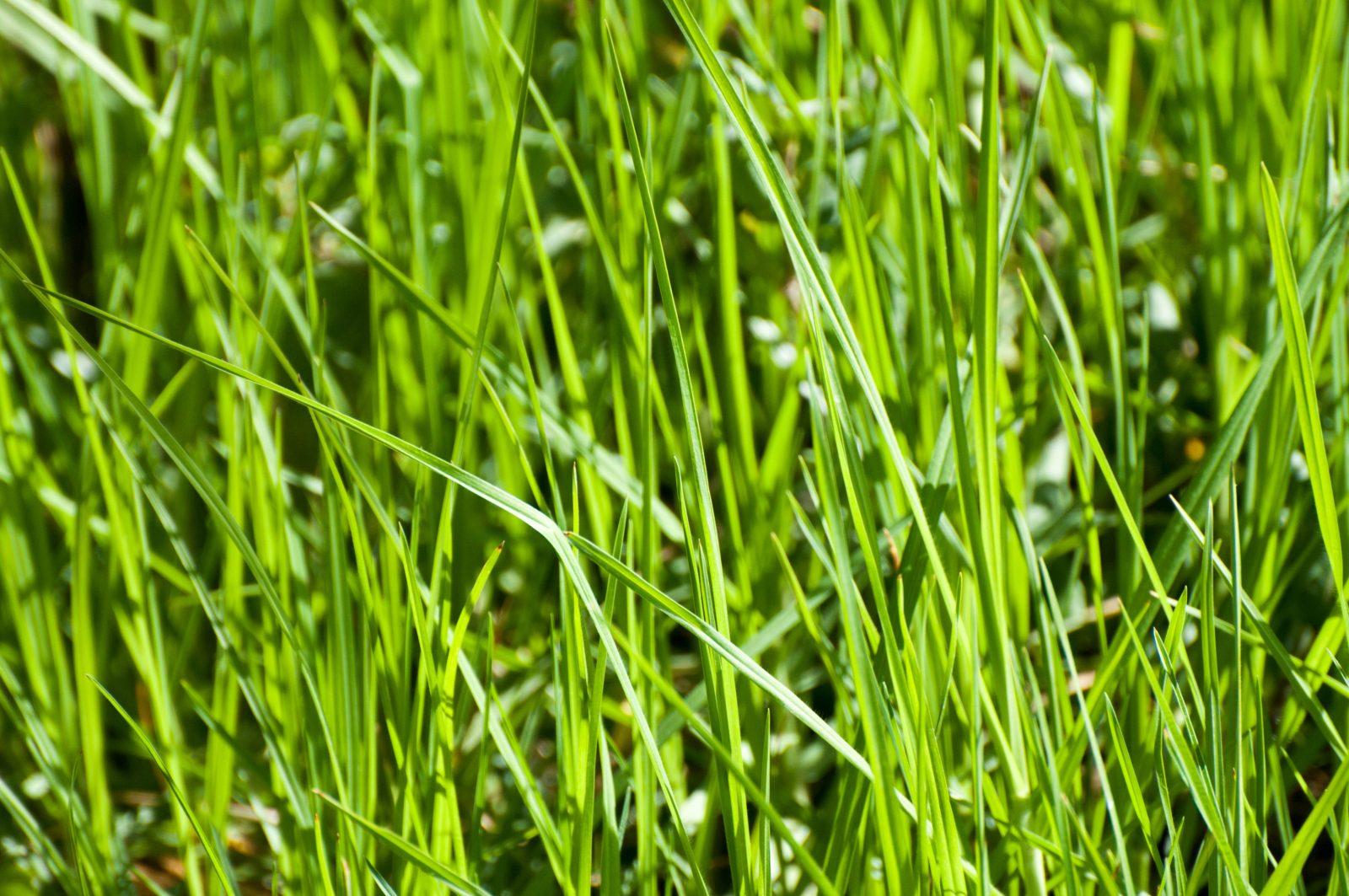 Long Strands of Grass