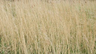 Water reed background