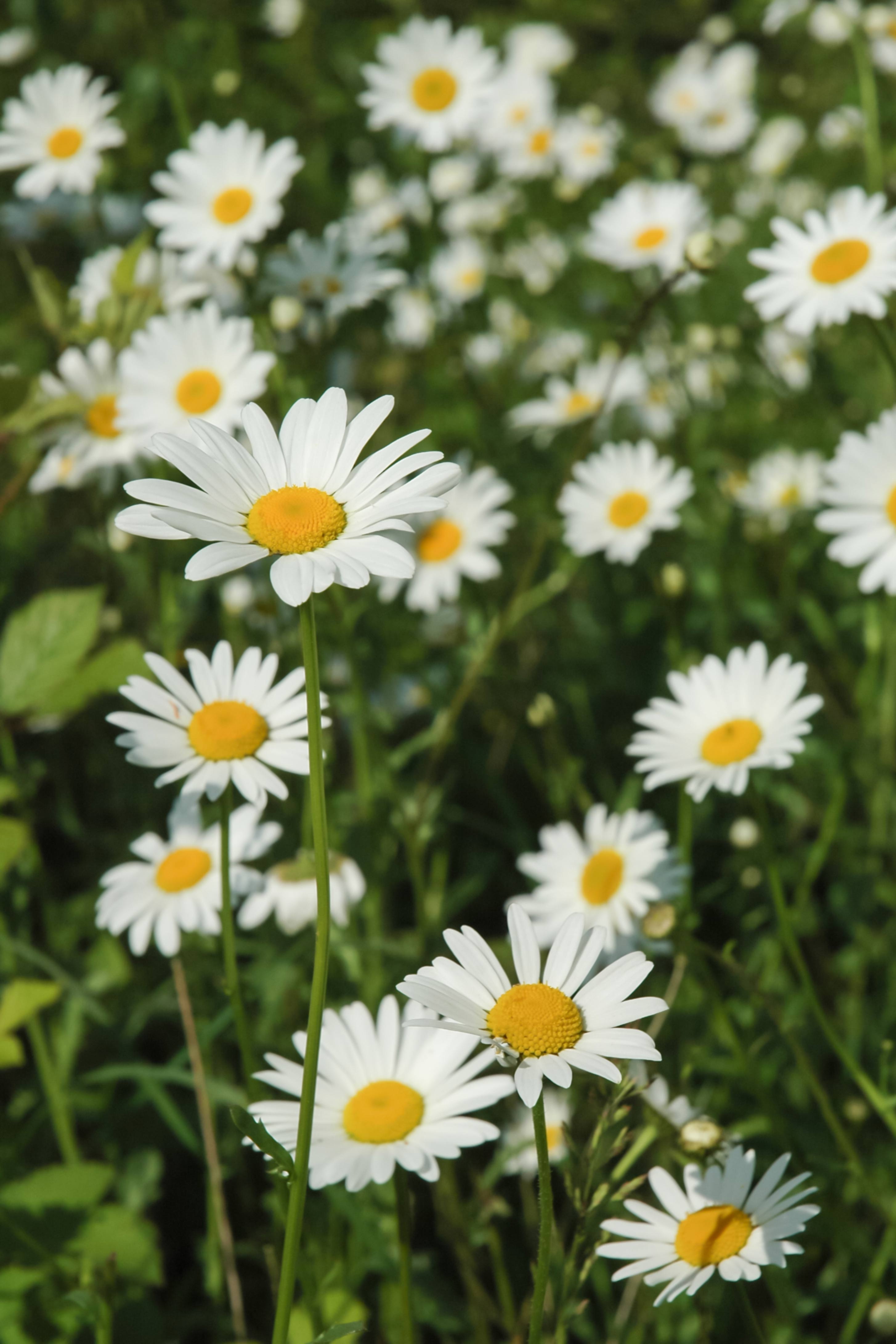 Field of Daisies Close-up