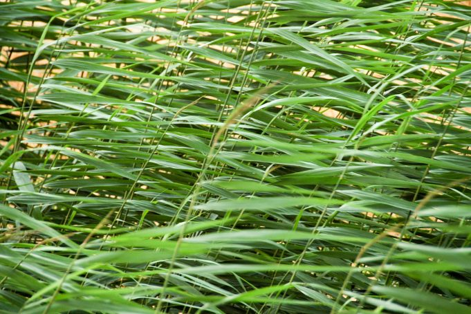 Wheat Plant Leaves in the Wind