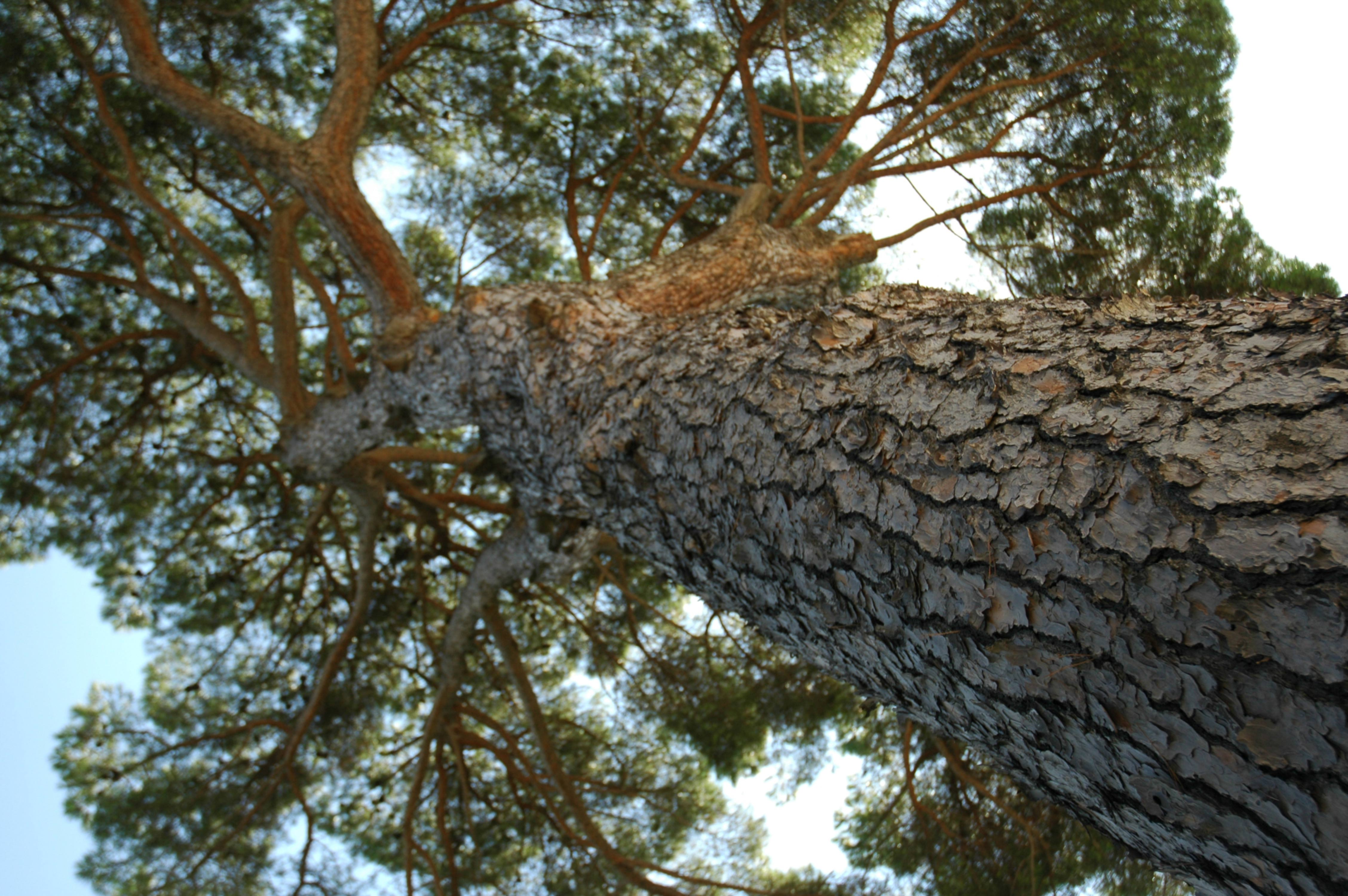 Enormous Tree Shining in Evening Sunlight