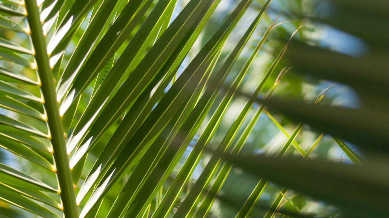 Palmtree Leafs and Blue Sky Backdrop