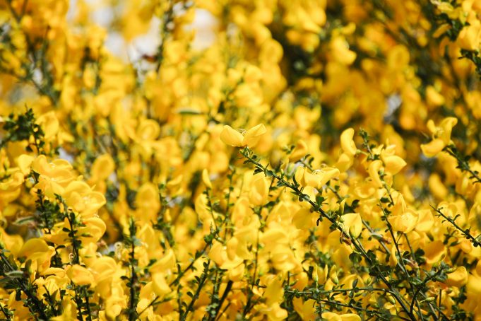 Palo Verde tree yellow flowers background