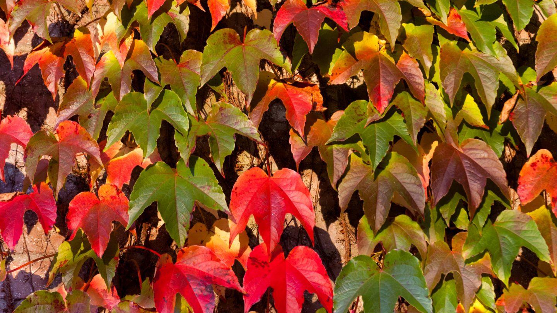 Parthenocissus Tricuspidata Green Spring
