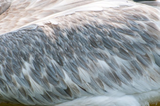 Pelican wing feathers