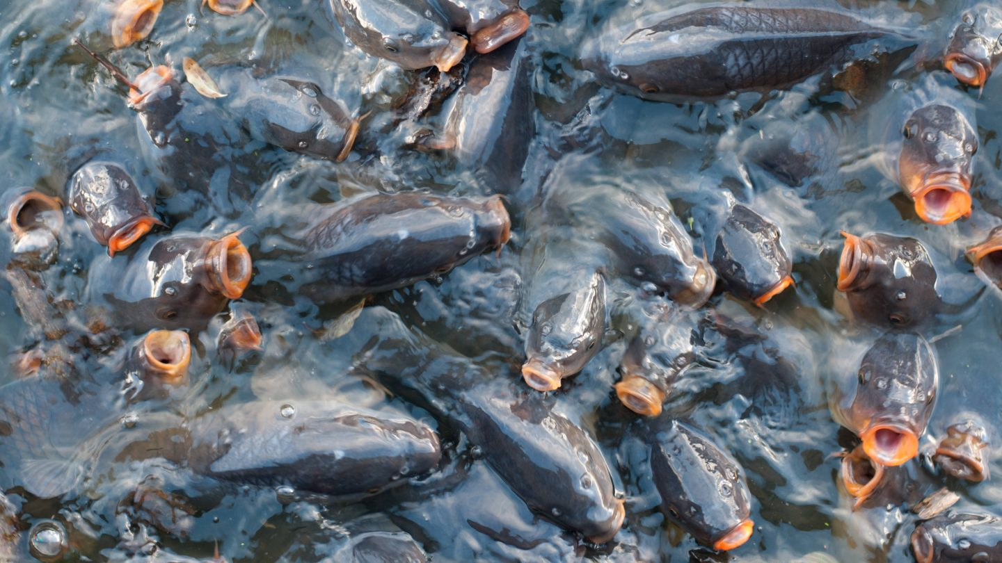Fish pattern pile of carp in the water