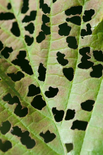 Pitted leaf in natural ambiance