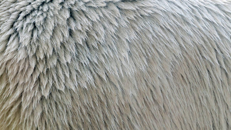 Polar bear fur texture close-up