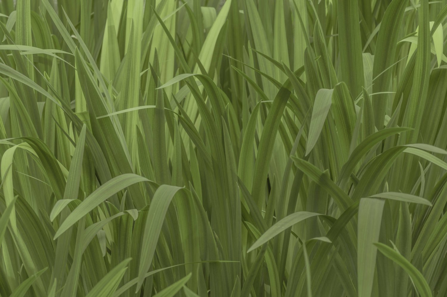 Pond plant leaves subtle green background Typhaceae free image