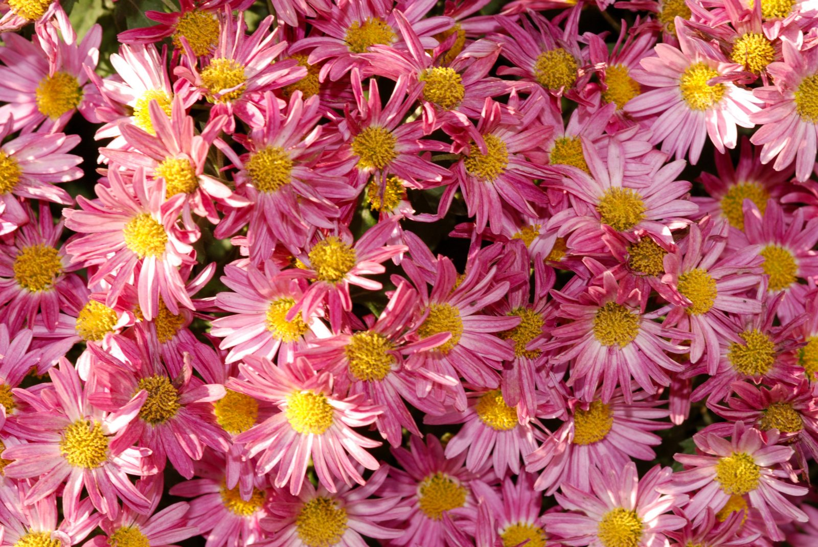 Purple Pink Yellow Bed of Flowers